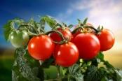 Sajak Tomat Dan Tobat