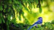sajak pohon cemara