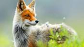 Beautiful-Fox-Wallpaper
