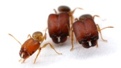 Tiga Semut Three Ants - Kahlil Gibran