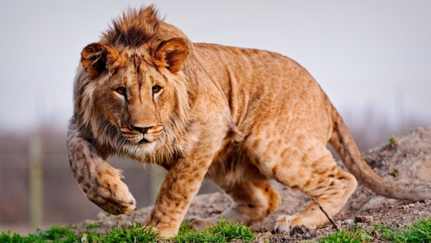 Sajak Singa Muda - Norman Adi Satria